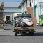 Sharks being taken for processing into bakso